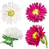 Camomilla del crisantemo della margherita isolata su fondo bianco Fotografia Stock