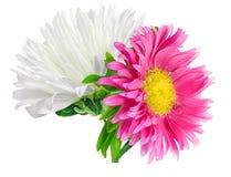 Camomilla del crisantemo della margherita isolata su fondo bianco Fotografie Stock