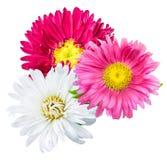 Camomilla del crisantemo della margherita isolata su fondo bianco Immagini Stock Libere da Diritti