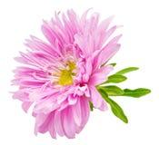 Camomilla del crisantemo della margherita isolata su fondo bianco Immagine Stock