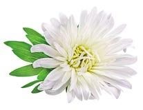 Camomilla del crisantemo della margherita isolata su fondo bianco Immagine Stock Libera da Diritti