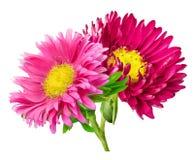 Camomilla del crisantemo della margherita isolata su fondo bianco Fotografie Stock Libere da Diritti