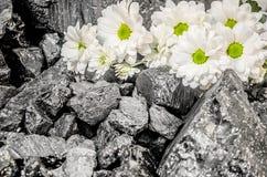 Camomilla del fiore delle margherite bianche del carbone Immagini Stock
