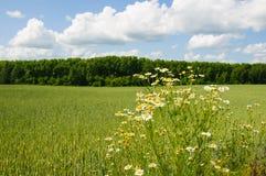 Camomilla di campo in prato contro la foresta ed il cielo nuvoloso Fotografia Stock