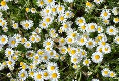 Camomilla di fioritura in primavera immagini stock libere da diritti
