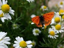 Camomilla e farfalla Fotografia Stock