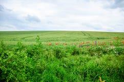 camomilla e flores da papoila Imagem de Stock