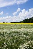 Camomilla e seme di ravizzone nel campo Fotografie Stock