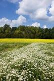 Camomilla e seme di ravizzone nel campo Fotografia Stock Libera da Diritti