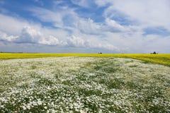 Camomilla e seme di ravizzone nel campo Fotografia Stock