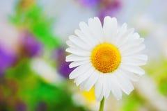 Camomilla fra i fiori Immagini Stock Libere da Diritti