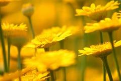Camomilla gialla Fotografie Stock Libere da Diritti