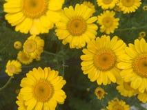 Camomilla gialla immagini stock