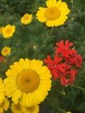 Camomilla gialla e licnide rossa Fotografia Stock Libera da Diritti
