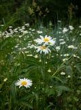 Camomilla in giardino Fotografie Stock