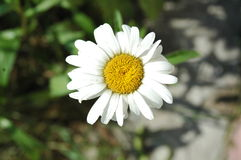 Camomilla graziosa poco bianca e gialla del fiore Fotografia Stock Libera da Diritti