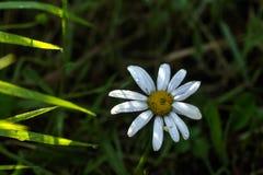 Camomilla il giorno di fioritura sistema l'estate rurale di sally del fiore del fireweed Fotografie Stock