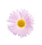 Camomilla lilla isolata. Fotografia Stock Libera da Diritti