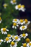 Camomilla (matricaria chamomilla) fotografia stock