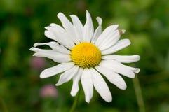 Camomilla nel giardino di estate natura, fiore fotografia stock