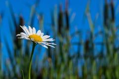 Camomilla nell'erba contro il cielo blu fotografia stock