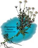 Camomilla, romana illustrazione di stock