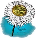 Camomilla, romana illustrazione vettoriale