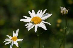 Camomilla selvatica con uno scarabeo Fotografie Stock Libere da Diritti