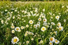 Camomilla sole- del prato della primavera Foto per gli ambiti di provenienza, desktop, copertura Fotografie Stock