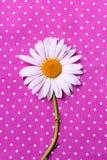 Camomilla su una struttura rosa punteggiata Polka Fotografia Stock