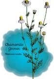 Camomilla, tedesca illustrazione di stock