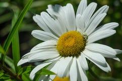 Camomilla, un giardino floreale Fotografie Stock