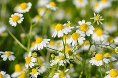 Camomille花在草甸增长 免版税库存图片