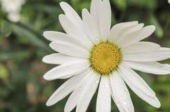 Camomille Image libre de droits