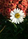 Camomille Imagen de archivo libre de regalías