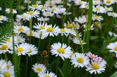 Camomille Photo libre de droits