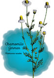 Camomille, allemande Photos stock