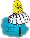 Camomille, allemande Photographie stock libre de droits