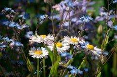 Camomille bianche e fiori blu Immagini Stock