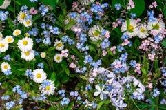 Camomille bianche e fiori blu Fotografia Stock