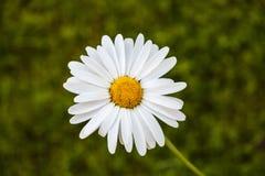 Camomille blanche Image libre de droits
