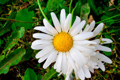 Camomille blanche Image stock