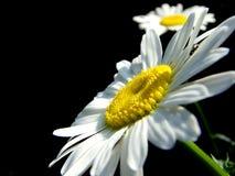 Camomille blanche Photographie stock libre de droits