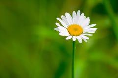Camomille blanche de jardin Photographie stock
