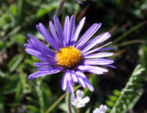Camomille bleue Image libre de droits