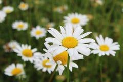 Camomille blomma Royaltyfri Foto