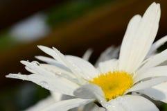Camomille com gotas de orvalho Foto de Stock Royalty Free