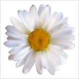 Camomille Daisy Flower Isolated sur le fond blanc V réaliste Photos stock