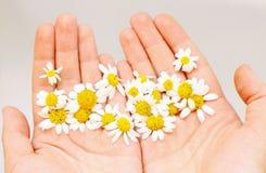 Camomille dans des mains Photo libre de droits