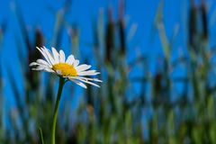 Camomille dans l'herbe contre le ciel bleu photo stock